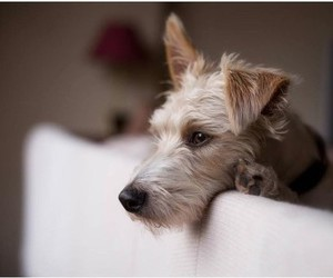 animals, dogs, and Terrier image