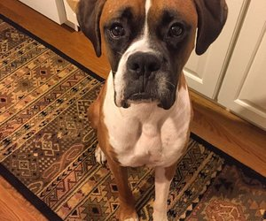 boxer and dogs image