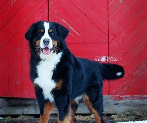 dog and bernese mountain dog image