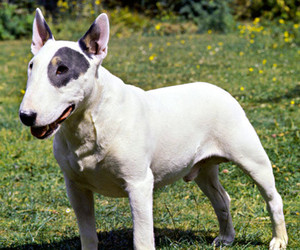 bull terrier and dogs image