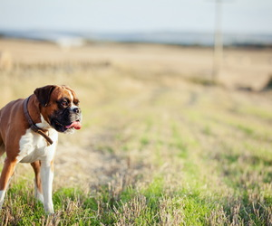 boxer, dogs, and cute dogs image