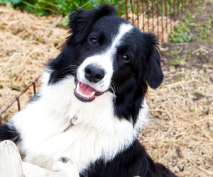 border collie, cute dogs, and dog image