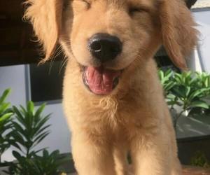 golden retriever and cute image