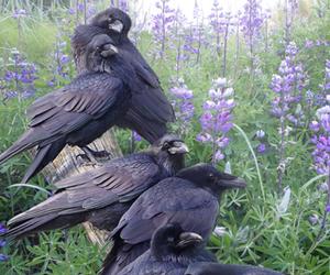 bird, crow, and black image