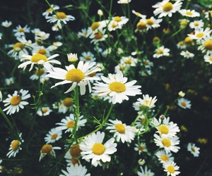 chamomile, soul, and white flowers image