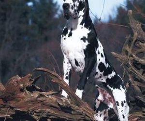 dogs, great dane, and big dogs image