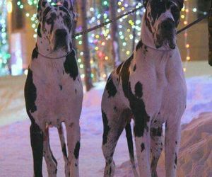 cute dogs, dogs, and great dane image