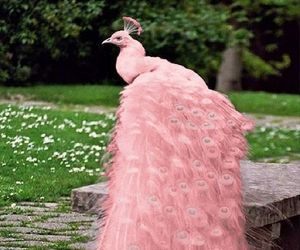 peacock, pink, and bird image