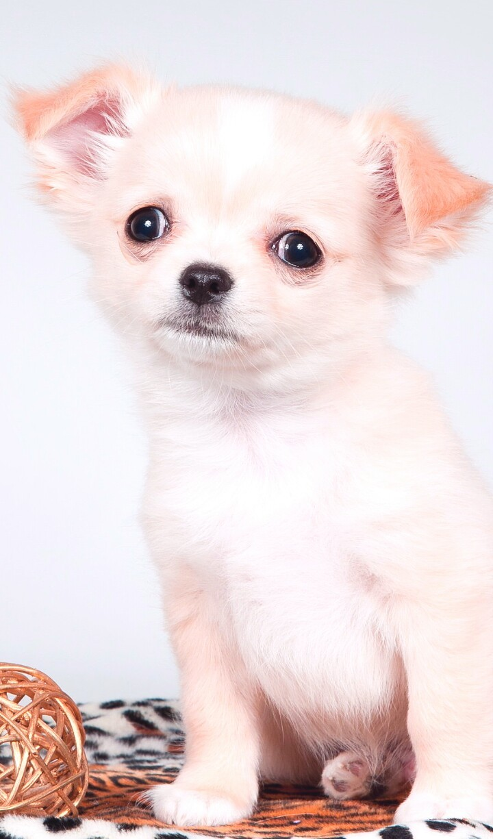 Animals Baby Baby Dog Background Beautiful Beautiful Dog Beauty Chihuahua Cute Animals Cute Baby Cute Puppy Dog Iphone Nature Nose Pretty Puppy Soft Still Life Wallpaper Wallpapers We Heart It Wallpaper Iphone