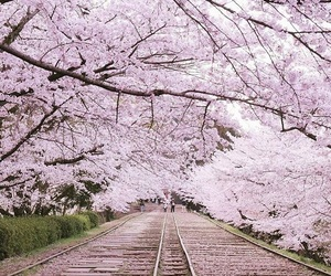cherry blossom, japan, and sakura image
