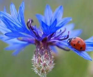 close up, cornflower, and flower image