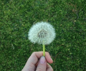 cool, dandelion, and flower image