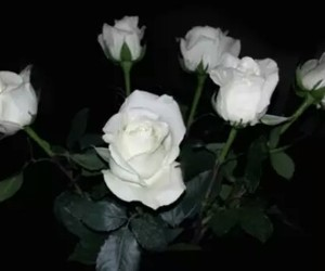 aesthetic, white rose, and white roses image