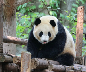 baby panda, panda, and giant panda image