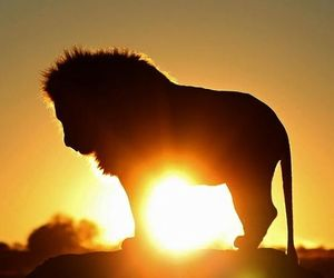 lion, animal, and sun image