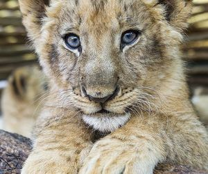 baby, cub, and posing image