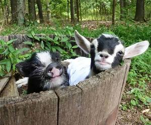 baby animals, cute animals, and goat image