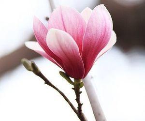 garden, magnolia, and pink magnolia image