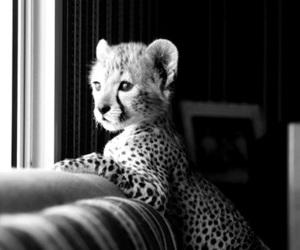cute, animal, and cheetah image