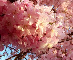 aesthetic, cherry blossoms, and floral image