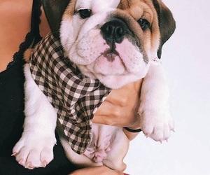 english bulldog, puppies, and puppy image