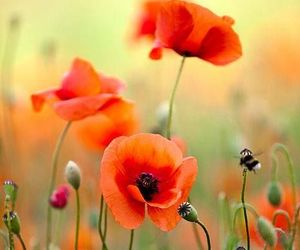 poppy, field, and flowers image