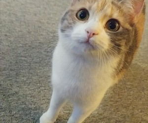 animal, calico, and cat image