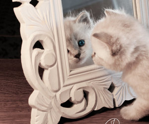 cat, kitten, and mirror image