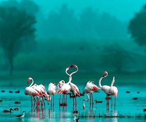 flamingo, birds, and nature image