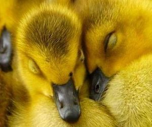duck, yellow, and duckling image