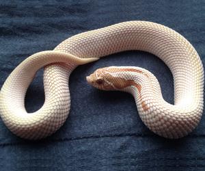 albino, Celia, and snake image