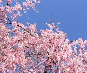 blossoms, pink, and cherry blossoms image