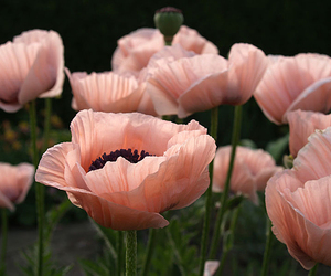 flowers, lovely, and poppy image