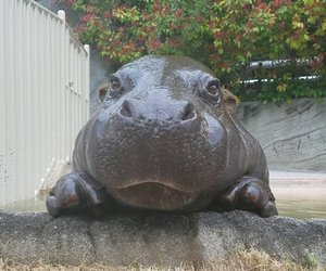 animal, hippo, and nature image