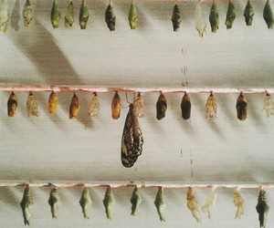 butterfly, Metamorphosis, and pupae image