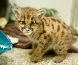 baby animals, big cats, and COUGAR image
