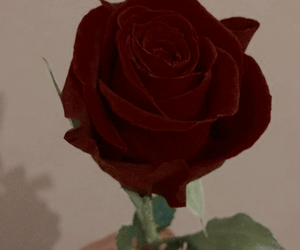 rose, wallpaper, and aesthetic image