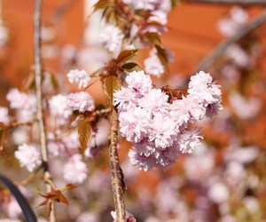 cherry blossoms, flowers, and magnolias image