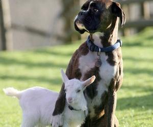 dog, animal, and goat image