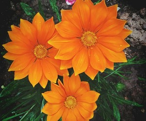 flowers, beautiful, and orange image