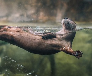 sweet otter and lookit that face ! image