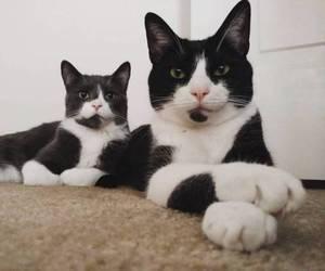 bengal cat, cats, and tuxedo cat image