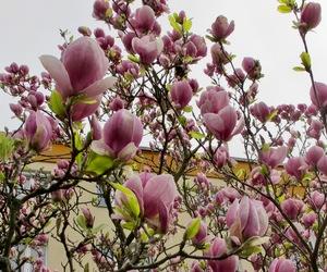 magnolia, soft, and nice image