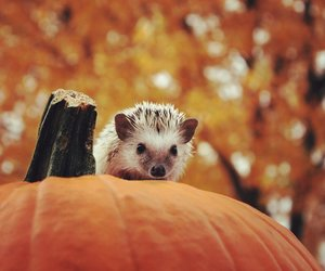 autumn, pumpkin, and hedgehog image