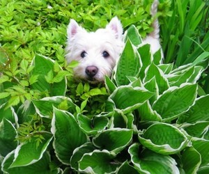 animals, dogs, and west highland terrier image