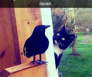 confused, funny cats, and fake raven image