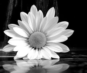 flowers, black and white, and b&w image