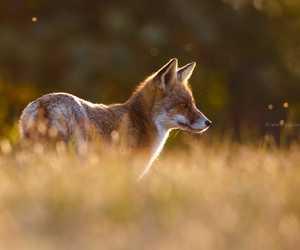 fox, prairie, and cute image