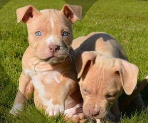 pitbull and puppies image