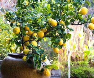 beautiful, gardening, and lemon tree image